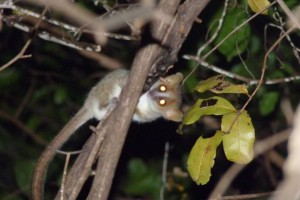 Mouse lemur hanging out in a tree after sunset in the Ankarana National Park.
