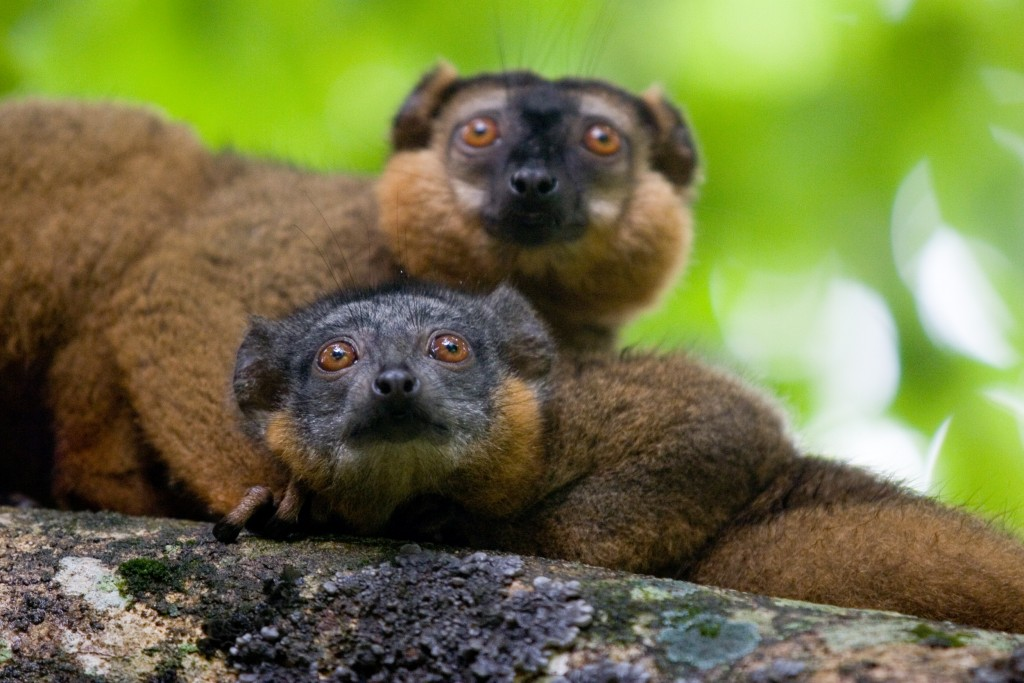 Collared brown lemur (Eulemur collaris). Photo by Azafady.