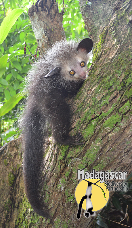 Baby aye-aye, photo by Dr. Ed Louis of the Madagascar Biodiversity Partnership