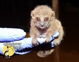 Madagascar Biodiversity Partnership Baby Lepilemur septentrionalis_EE Louis Jr