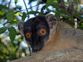 A brown lemur in Madagascar!