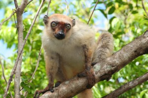 Melanie Seiler Female blue-eyed black lemur