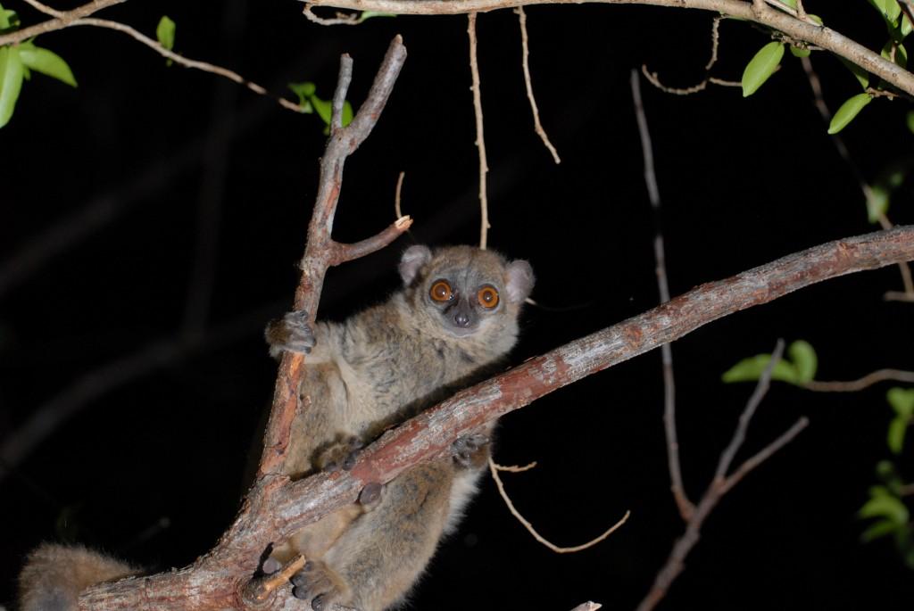 The critically endangered northern sportive lemur, Lepilemur septentrionalis. Photo credit: Dr. Edward Louis