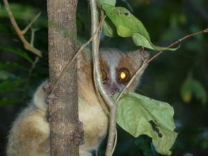 A golden-brown mouse lemur!