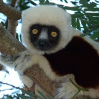 A Coquerel's sifaka in Madagascar.