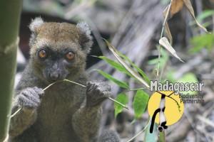 Madagascar Biodiversity Partnership Prolemur simus eating bamboo_ BEnyart