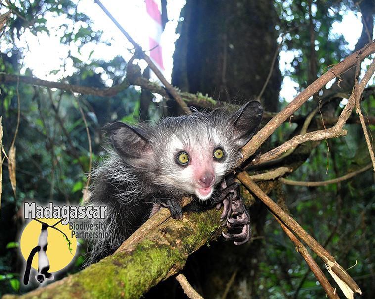 Tsinjo, the baby aye-aye. Photo courtesy of the Madagascar Biodiversity Partnership.