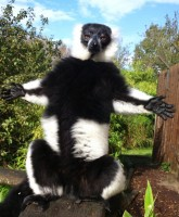 Aramis, the black and white ruffed lemur at Howletts Wild Animal Park