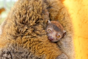 Critically endangered mongoose lemur born at LCF in 2014.