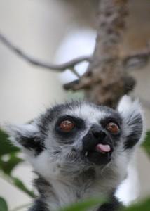 Lemur love lj