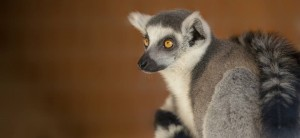naturezoo rheine lemur