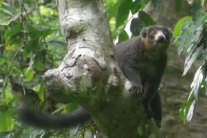 A mongoose lemur in the Comoros.