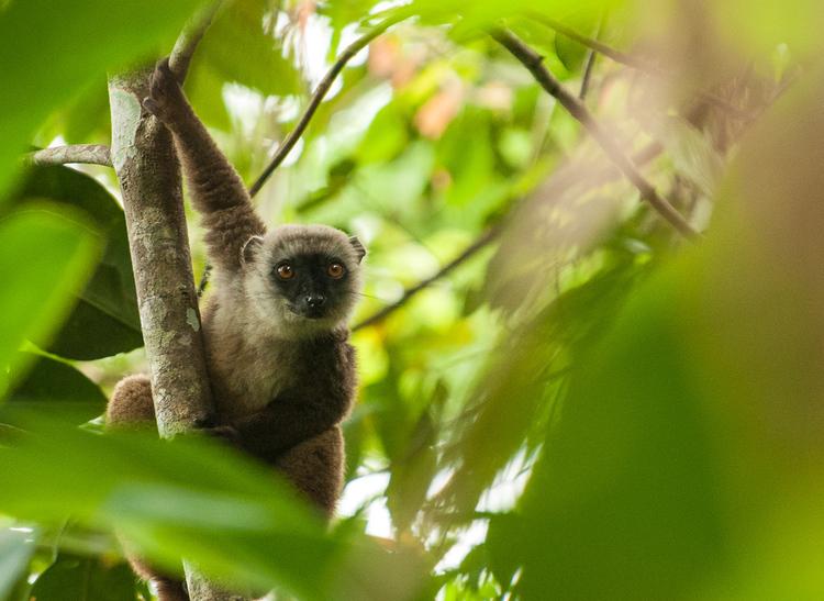jeffgibbs-lemur