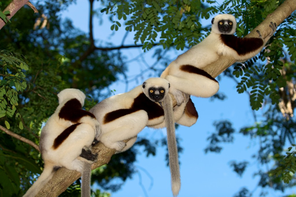 Coquerel's sifakas in Madagascar. Photo by Travis Steffens.