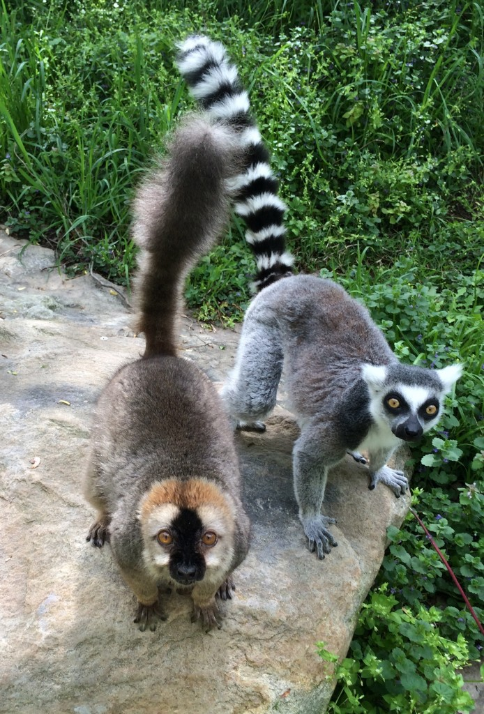 Red-fronted and ring tailed lemurs at the Smithsonian National Zoo!