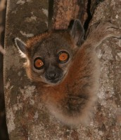 Lemur in Ranobe, Photo courtesy of Ho Avy