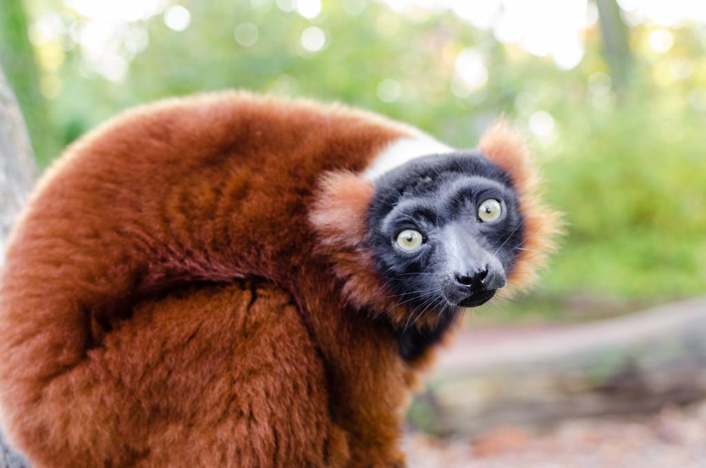 Red ruffed lemur photo by Matthias Appel