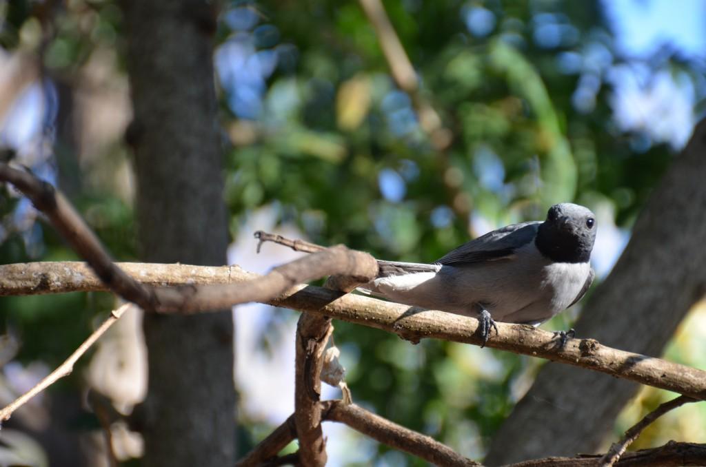 A rare bird in Ankarafantsika National Park, Madagascar. Photo by Lynne Venart.
