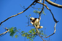A coquerel's sifaka in Ankarafantsika National Park in Madagascar. Photo by Lynne Venart.