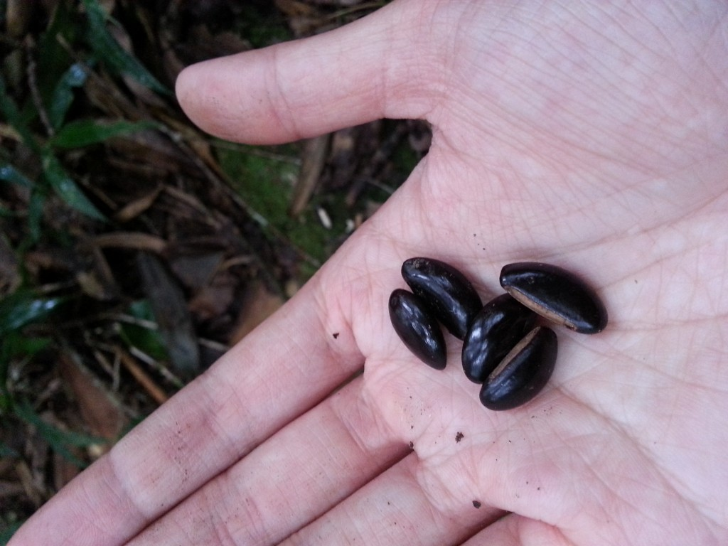 Collecting Rahiaka Seeds