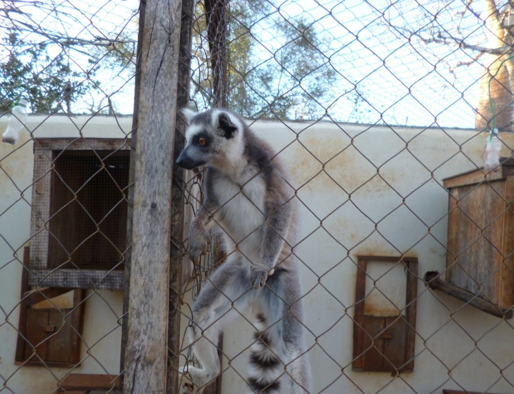 Dinner time at the Lemur Rescue Center