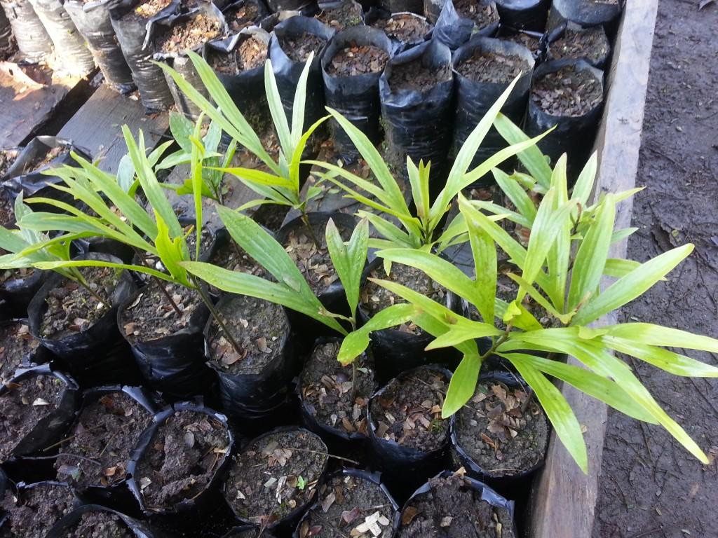 Rahiaka seedling