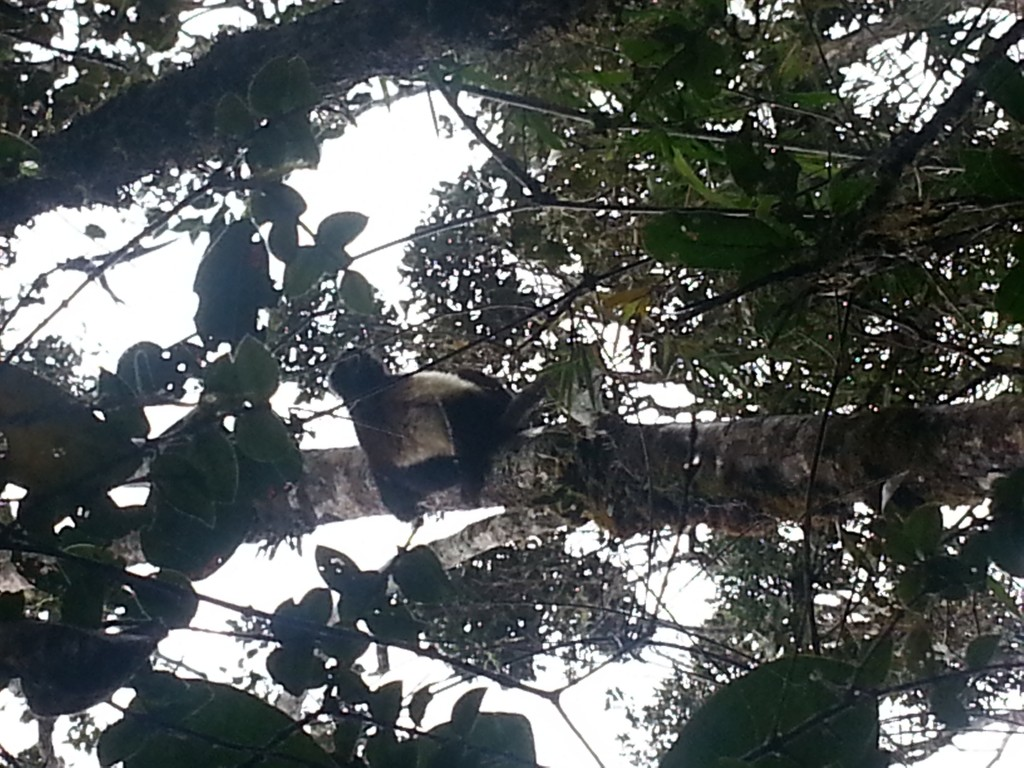 A sifaka high up in the tree canopy