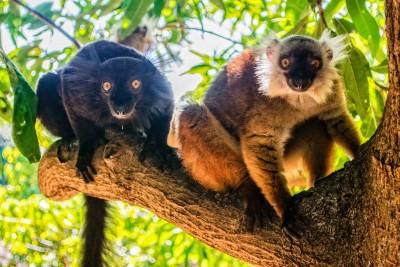 Eulemur macaco male and female. Photo courtesy of Jen Tinsman.