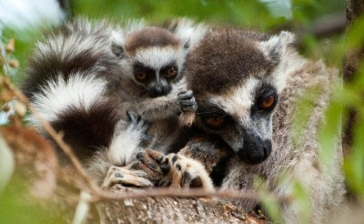 Ring-tailed lemurs in the Berenty reserve. Photo courtesy of Jen Tinsman.