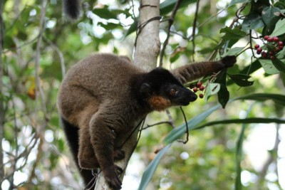 Lemur found at Sainte Luce Reserve. Photo via Sainte Luce's Facebook page.