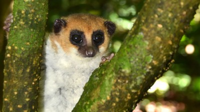 The newly discovered Montagne d'Ambre dwarf lemur! Photo courtesy of Madagascar Biodiversity Partnership and the Omaha Zoo.