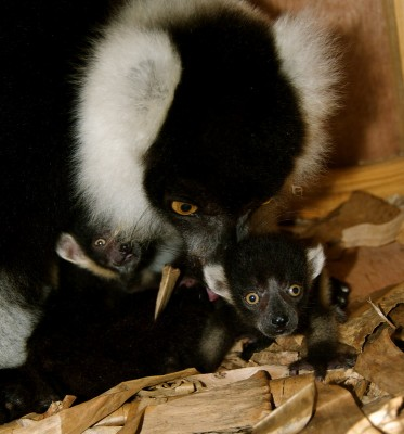 Black and white ruffed lemur with her babies at Parc Zoologique. Photo courtesy of Madagascar Fauna and Flora Group.