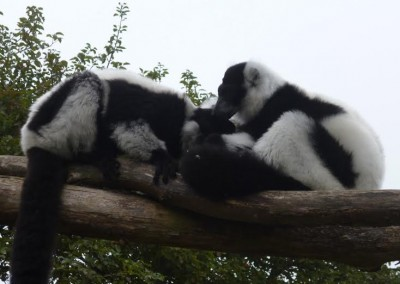 Aramis and Asika grooming. Photo courtesy of Phil Reeks.
