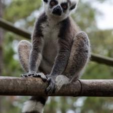 A Visit to the Lemur Conservation Foundation's Lemur Reserve