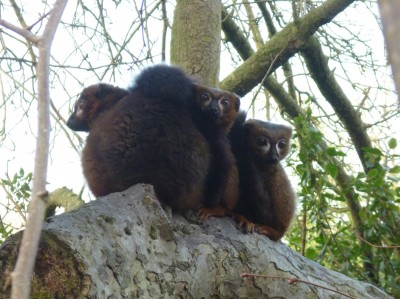 Red-bellied lemurs at Howlett's.
