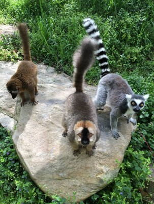 One Ring-tailed lemur and two Red-fronted brown lemurs at the National Zoo (Photo credit: Alex Reddy)