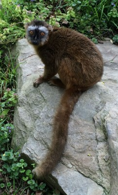 Female Red-fronted brown lemur at the National Zoo (Photo credit: Alex Reddy)