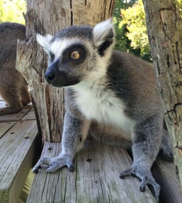 Ring-tailed lemur at the National Zoo (Photo credit: Becky Malinsky)