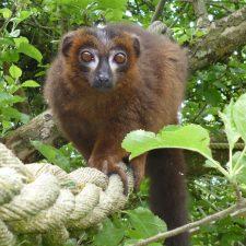 Zookeeper's Notebook: Spotlight on Red-Bellied Lemurs