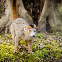 Crowned lemur at NaturZoo Rhein