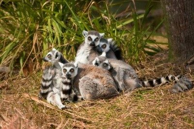 Ring-tailed lemur family group at the Jacksonville Zoo.