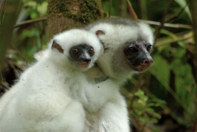 Silky Sifaka mother and child. Photo by Jeffrey Gibbs.