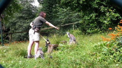 Jade leading a training session with a group of ring-tailed lemurs.
