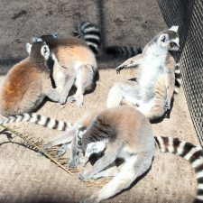 How My Experience with Tiny Tim Inspired Me to Save the Lemurs