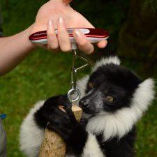 Training the Lemurs of Combe Martin Wildlife Park