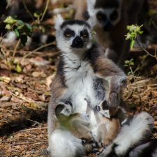 Hiking with Ring-Tailed Lemurs at Anja Reserve