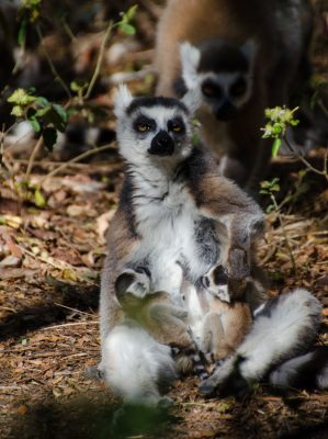 A mother ring-tail nursing her two babies at Anja Reserve. Photo by Lynne Venart.