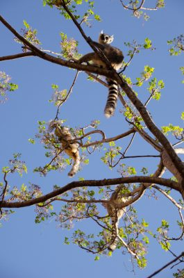 Ring-tailed lemurs at Anja Reserve. Photos by Lynne Venart.