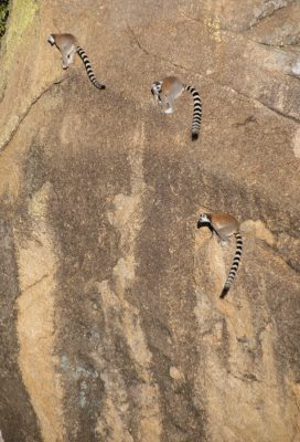 Ring-tailed lemurs climbing and jumping up a rock face in Anja Reserve, Madagascar. Photo by Lynne Venart.