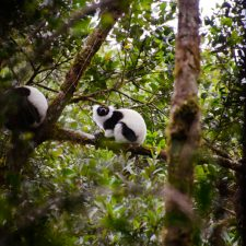 Spotting Sifakas and Ruffeds with Théo in Ranomafana